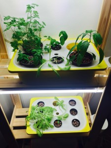 hydroponic-first-experiment-2